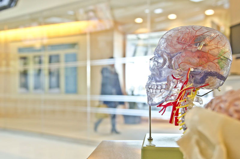 A clear skeleton model of a head to show what CBD does to the brain.