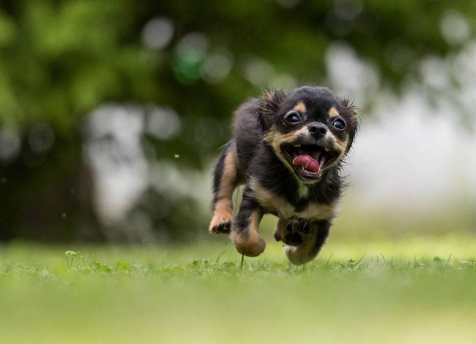 A small dog jumping in the grass